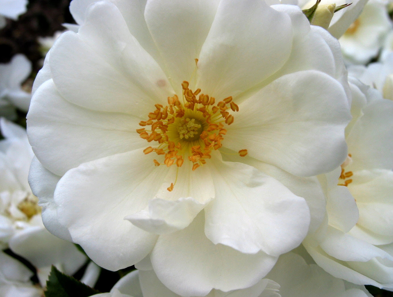 Rosa flower carpet white mightylinksfo