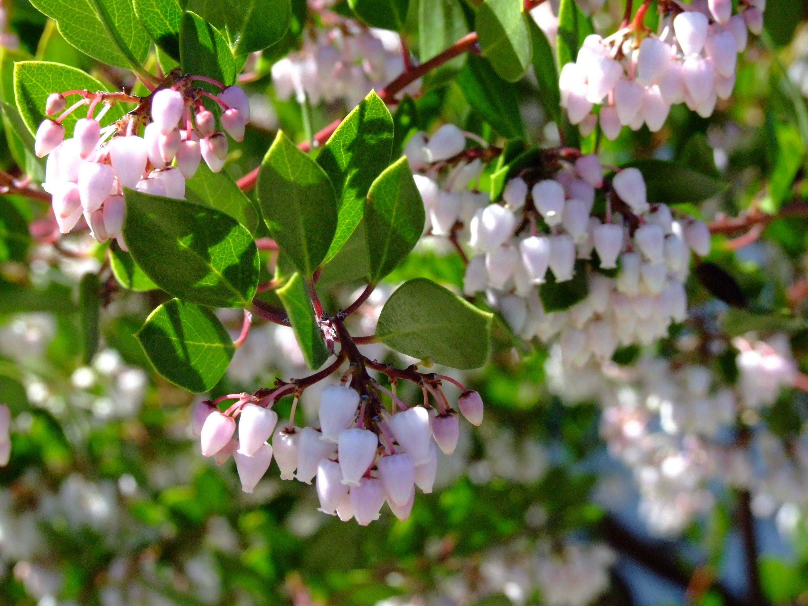 Average Interest Rate >> Arctostaphylos den. 'Howard McMinn'
