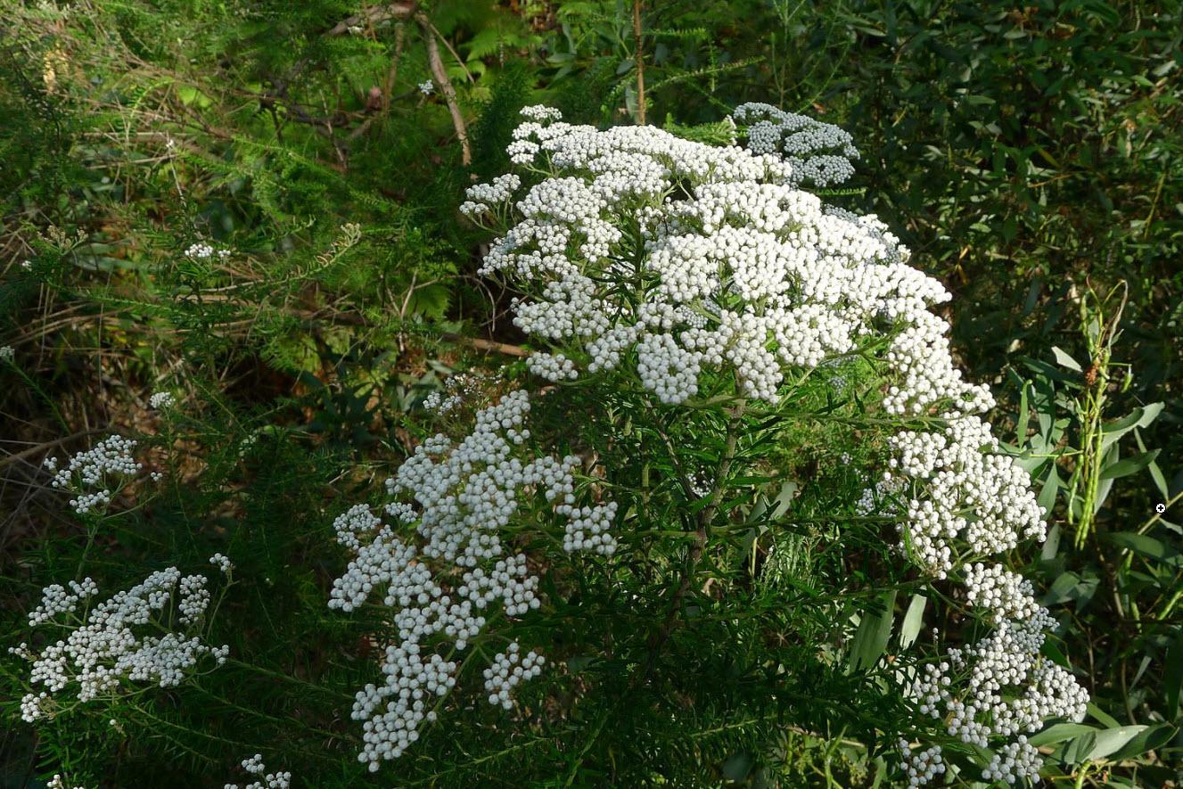 Ozothamnus diosmifolius ozothamnus diosmifolius pink rice flower mightylinksfo