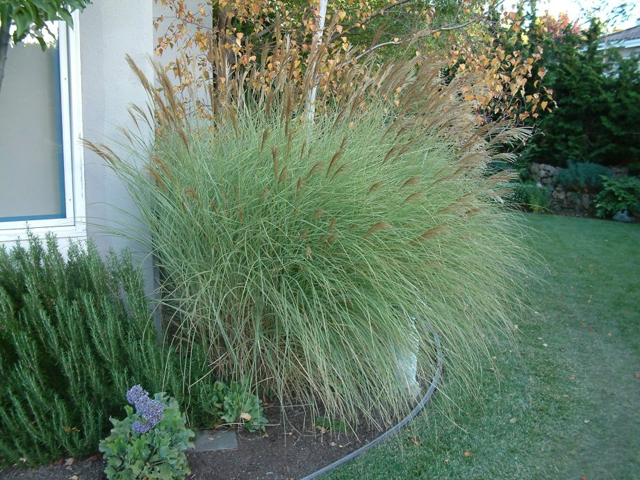 Picture of Live Silver Maiden Grass aka Miscanthus sin. 'Morning Light' Plant Fit 5 Gallon Pot