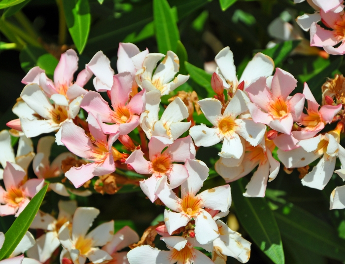 Petite Salmon Oleander