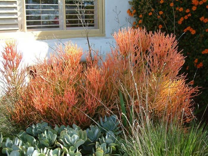 Euphorbia Tirucalli Sticks On Fire