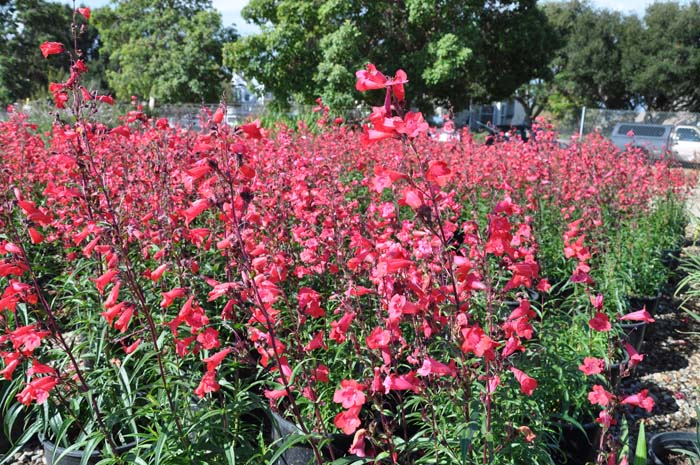 Firebird Border Penstemon (red)