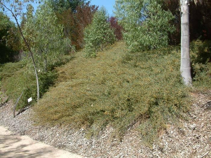 Acacia Redolens Desert Carpet 174