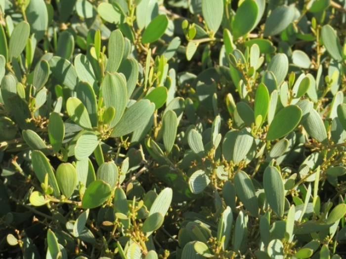 Acacia Redolens Desert Carpet