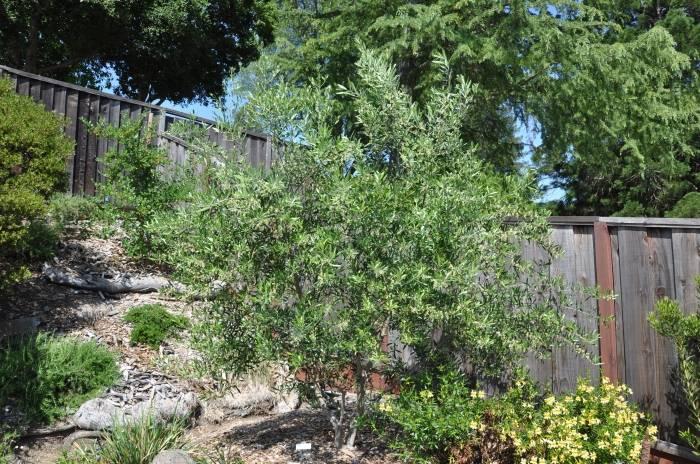 Wilson Fruitless Olive