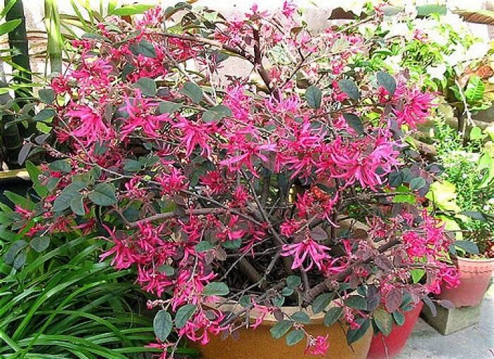 Loropetalum chinense sizzling pink mightylinksfo