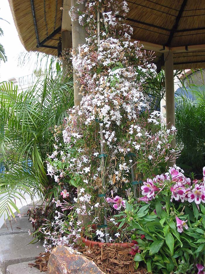 Image Result For Jasmine Garden