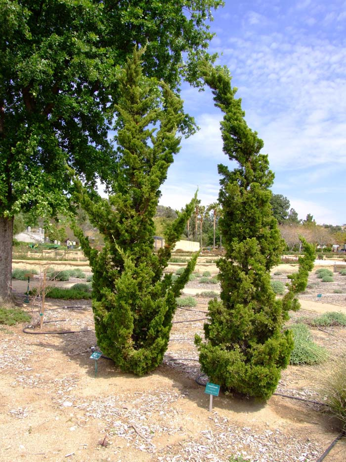 Average Interest Rate >> Juniperus chinensis 'Kaizuka'