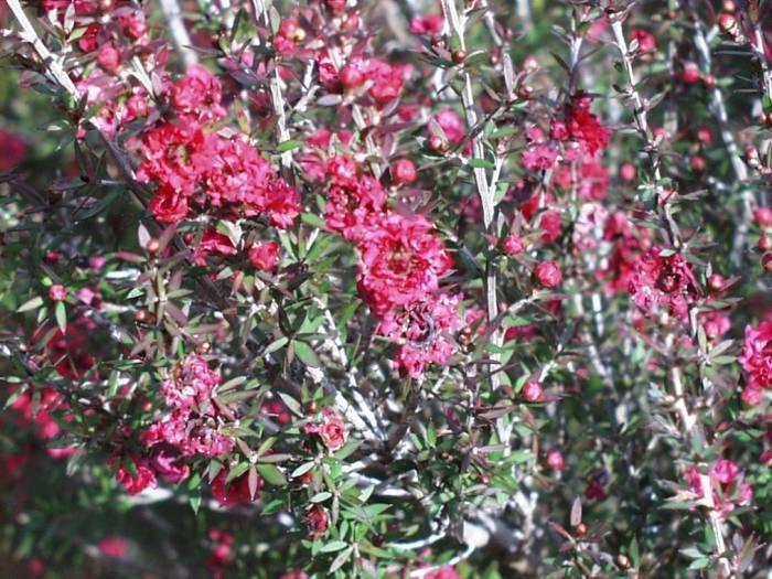 Leptospermum Scoparium Ruby Glow