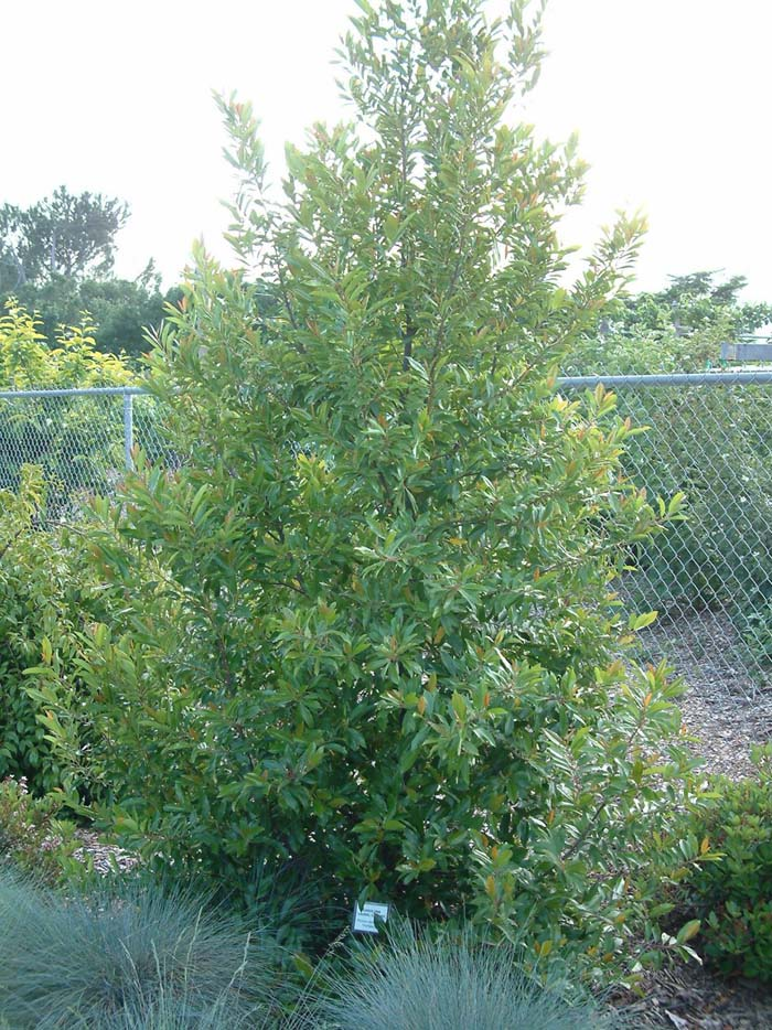 Dwarf Carolina Laurel Cherry