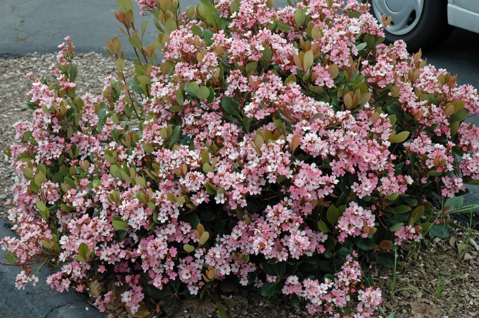 Pink Lady Rhaph or Indian Hawthorn
