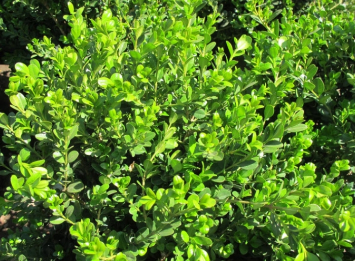 Green Beauty Boxwood