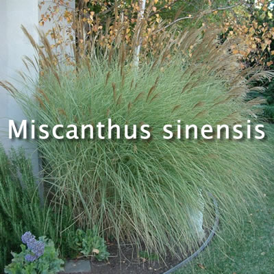 Miscanthus sinensis 'Morning Light' / Morning Light Silver Grass