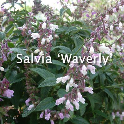Salvia 'Waverly' / Waverly Sage