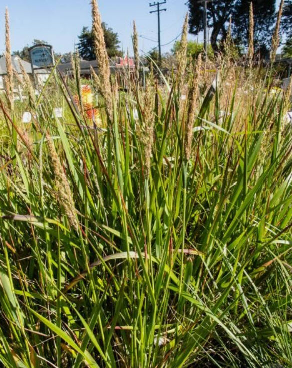 Pacific Reed Grass