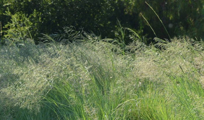 Madera Creek Lovegrass