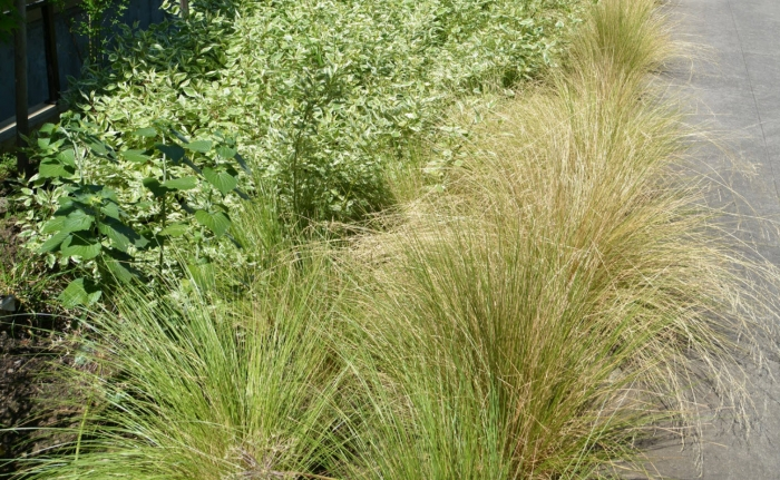 Golden Tussock Grass