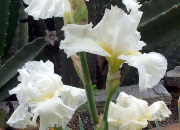Frequent Flyer Bearded Iris