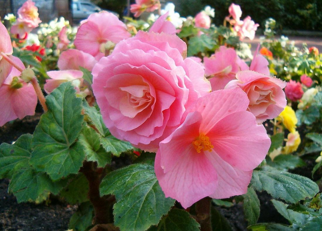 UC Marin Master Gardeners   Bulbs   Plants